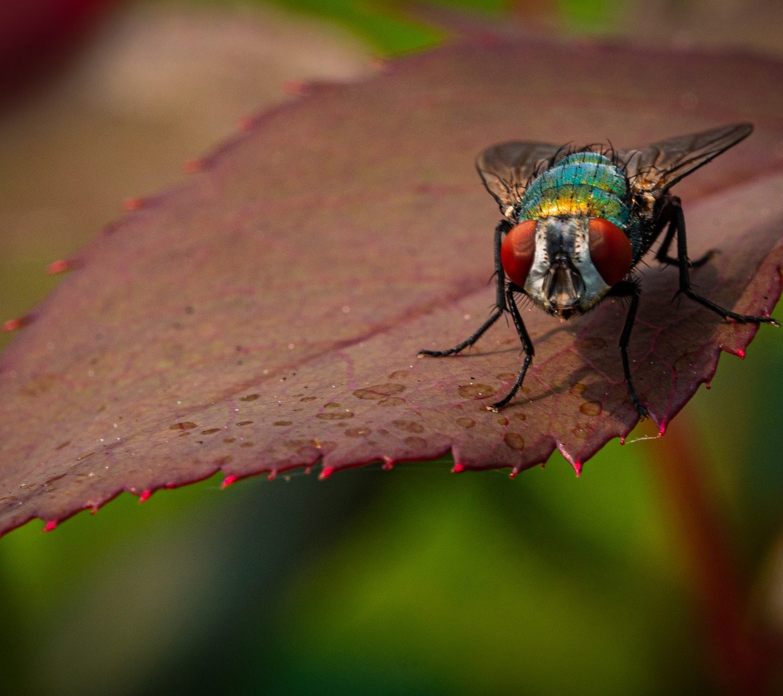 Pourquoi les mouches domestiques sont dangereuses et comment vous pouvez vous en débarrasser